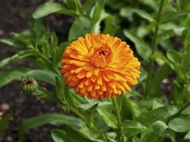 mooie oranje goudsbloembloem en knop, variëteit calendula citrus twist foto