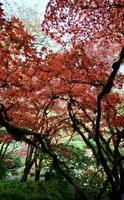 Japanse esdoorn in de herfst foto