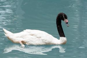witte zwaan in het meer foto