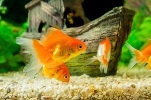 goudvis in aquarium met groene planten foto