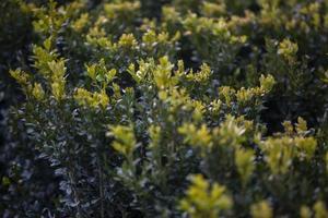 groene bladeren muurhaag als achtergrond foto