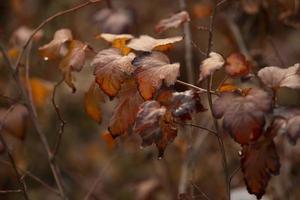 mooie herfstbladeren aan de struik foto