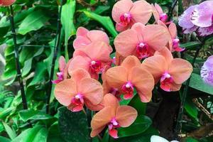 oranje orchideebloem in tuin bij de winterphalaenopsisorchidee foto