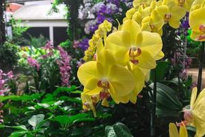 gele orchideebloem in tuin bij de orchidee van de winterphalaenopsis foto