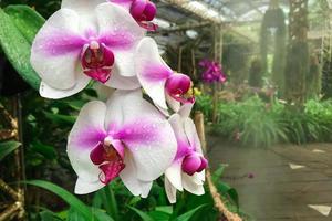 witte orchideebloem in tuin bij de orchidee van de winterphalaenopsis foto