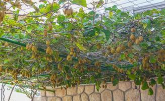 Kiwi groeit bij de carport in novi vinodolski, kroatië. foto
