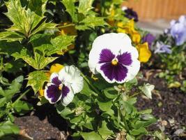 witte en paarse altvioolbloem foto