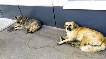 twee zwerfhonden liggen op het asfalt in de buurt van foto