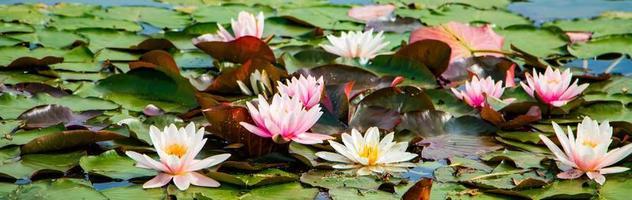 roze lotussen in helder water. waterlelies in de vijver foto
