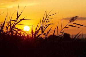 riet tegen de achtergrond van een zonnige zonsondergang foto