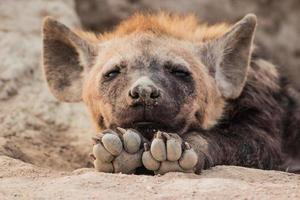 baby hyena Zuid-Afrika foto