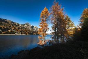 herfstkleurige lariksen bij een meer in de Engadin-vallei in svizzzera foto
