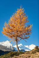 een lariks herfst in het hooggebergte foto