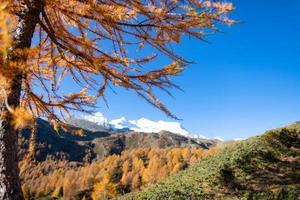 goudkleurige lariks in de herfst foto