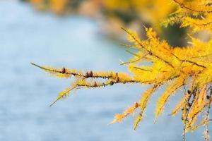 tak van lariks kleur goud herfst foto