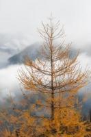 lariks op een sombere herfstdag in de bergen foto