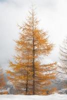 goudkleurige herfst lariks bij de eerste sneeuwval foto
