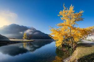 populierboom tremolo op het meer van sankt moritz in zwitserland foto