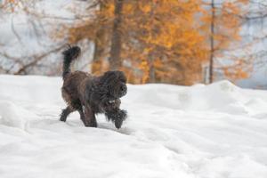 herdershond loopt in de sneeuw in de herfst foto