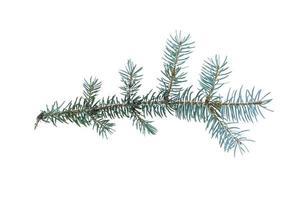 blauwe spar takje geïsoleerd op een witte achtergrond foto
