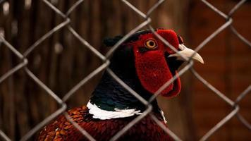 jagende fazant in een kooi. vogels in de dierentuin of boerderij foto