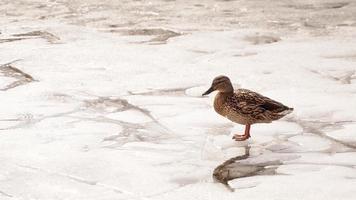 eenden lopen op smeltend ijs. het bevroren ijs foto