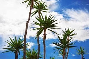 hoge palmbomen foto