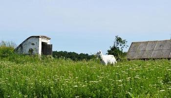 witte kleine geit met hoorns op zoek in groen gras foto