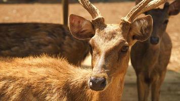 close-up hertengezicht foto