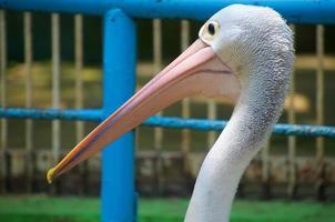 waarneming van koppen van pelikanen die voorbij komen in de dierentuin foto