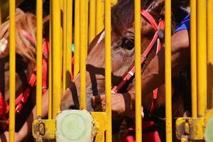 renpaarden klaar om te racen bij de deur foto