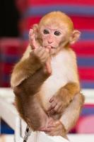 een kleine aap teen die op een houten balk zuigt foto