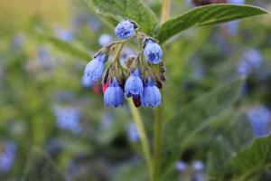 een tak van blauwe bloemen op een achtergrond van groen gras foto