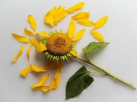 zonnebloemen op witte achtergrond foto