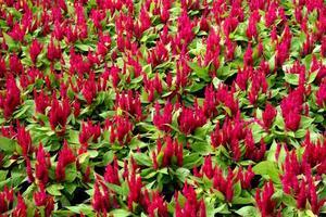 bed van rode bloemen foto