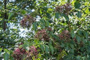 zwarte vlierbessen sambucus bij een vlierbessenstruik foto
