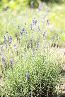 violette lavendelbloemen foto