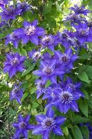 blauwe clematis op een achtergrond van groene bladeren. selectieve aandacht. foto