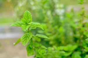 close-up van levendig groene verse muntplant foto
