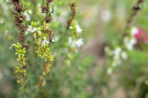 thymus serpyllum bloeit in de tuin, close-up foto