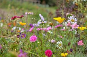 veld van kosmos bloem, weide met aster, kamille, esholtzia foto