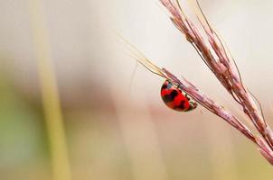 close-up van lieveheersbeestje in de tuin. foto