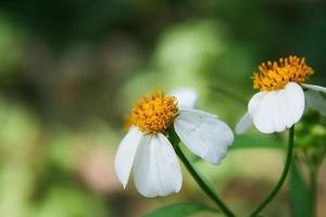 gras en de bloem, witte bloem aan de buitenkant. foto