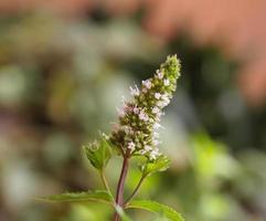 pepermunt mentha piperita plant foto