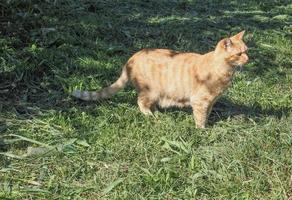 kat in het gras foto