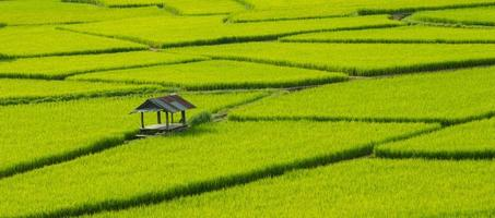 groene rijstvelden in het regenseizoen prachtige natuur foto