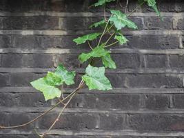 klimop plant en muur achtergrond foto