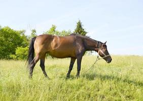 mooie wilde bruine paardenhengst op zomerbloemenweide foto