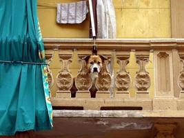 hond kijkt vanaf balkon foto