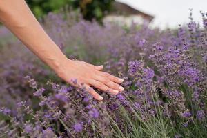 vrouwenhand wat betreft lavendelbloemen op lavendelveld foto